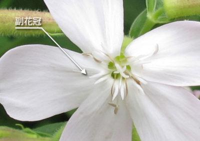 サポナリア(サボンソウ)の副花冠