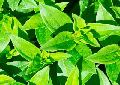 サポナリア(サボンソウ)の葉の様子