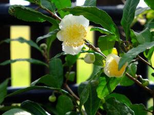 チャノキ(茶の木)
