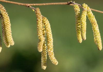 セイヨウハシバミの雄花序