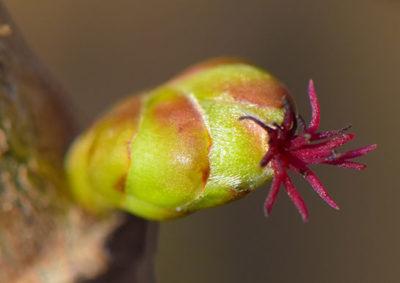 ヘーゼルナッツの雌花