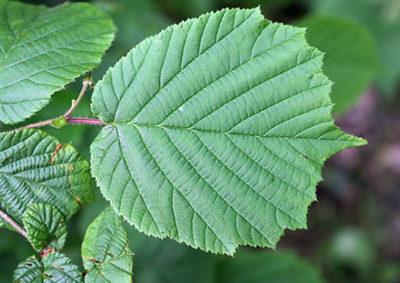 セイヨウハシバミ(ヘーゼルナッツ)の葉