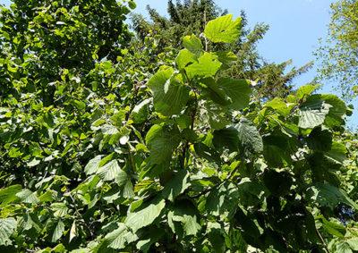 セイヨウハシバミの木の様子