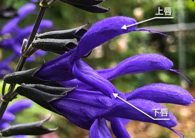 アキギリ属(サルビア属)の唇形花