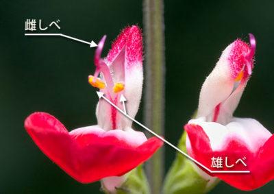 アキギリ属(サルビア属)の雄しべと雌しべ