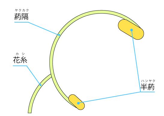 アキギリ属(サルビア属)の雄しべの構造