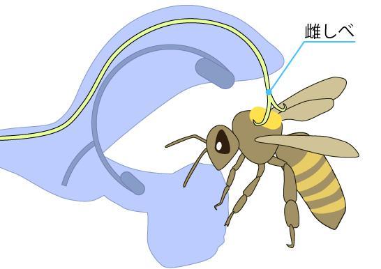 アキギリ属の受粉の仕組み