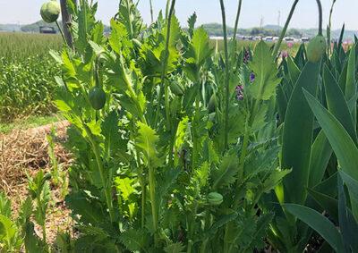 アツミゲシの草姿