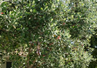 大きく育ったフェイジョアの木