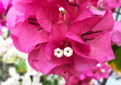 ブーゲンビリアの花序
