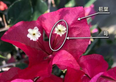 ブーゲンビリアの花と苞葉