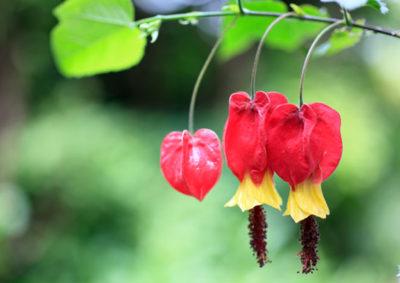 ウキツリボク(アブチロン)の花