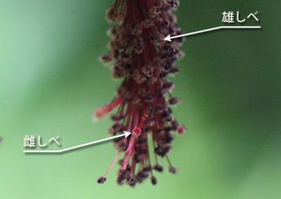 ウキツリボク(アブチロン)の雄しべと雌しべ