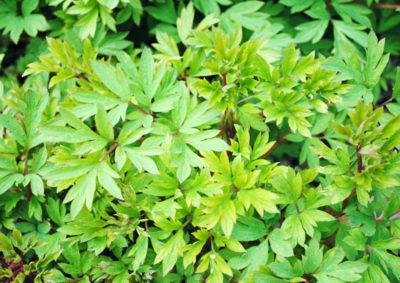 ケマンソウの葉の様子