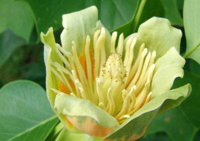 ユリノキの花の雄しべと雌しべ