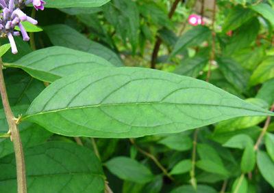 トウフジウツギの葉