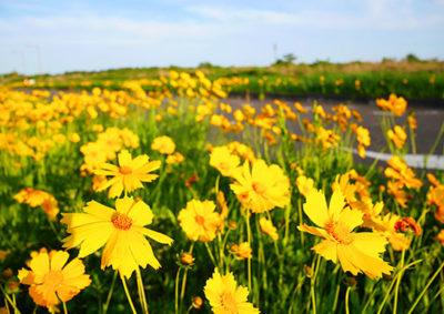 たくさんの花を咲かせるオオキンケイギク