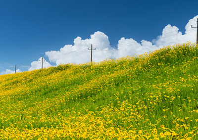 オオキンケイギクで黄色く染まった土手