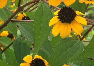 ルドベキア・タカオの葉の様子