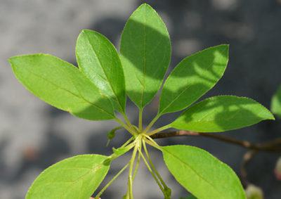 サラサドウダンの葉の様子