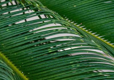 ソテツの小葉