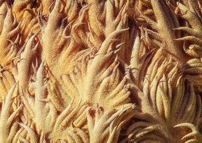ソテツの大胞子葉(雌花)