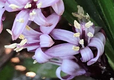 キチジョウソウの両性花