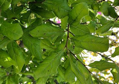 ロウヤガキの葉の様子