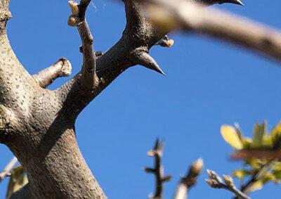 ロウヤガキの枝先の横棘