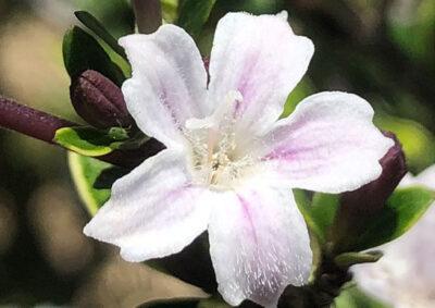 ハクチョウゲの長花柱花