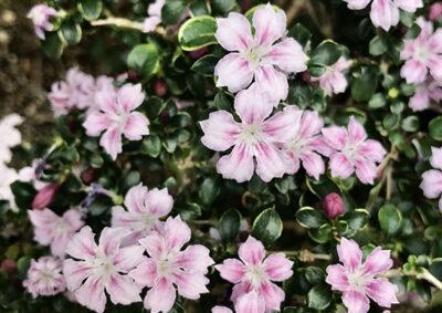 ピンク色の花を咲かせるハクチョウゲ