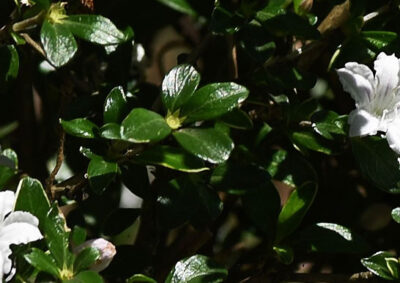 ハクチョウゲの葉の様子