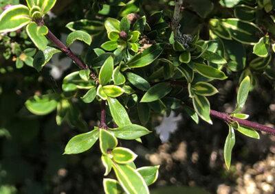 斑入りハクチョウゲの葉