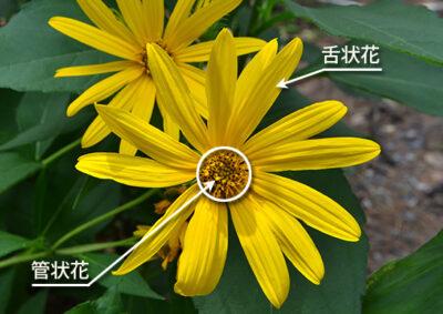 キクイモの頭花