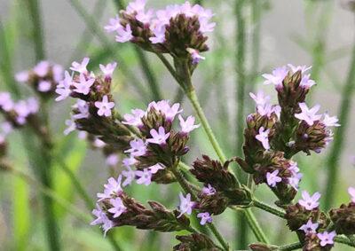 アレチハナガサの花序