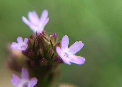 アレチハナガサの花