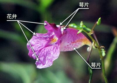 ツリフネソウの花の様子