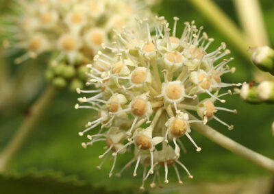 ヤツデの花序